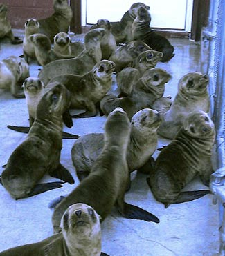 sea lion pups