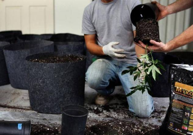 workers transplant cannabis