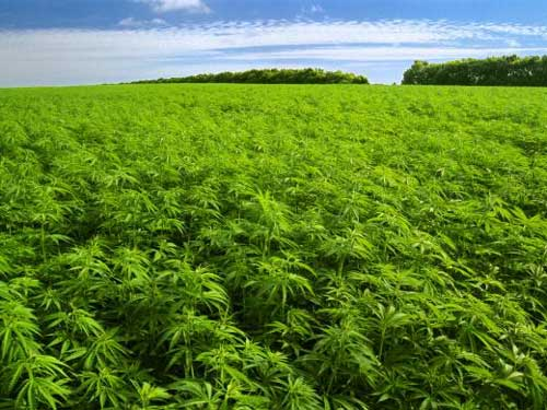 cannabis-farm